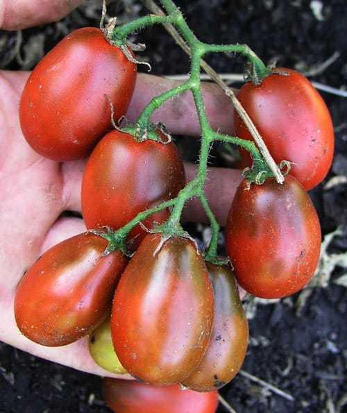 Сорта томатов черные черри