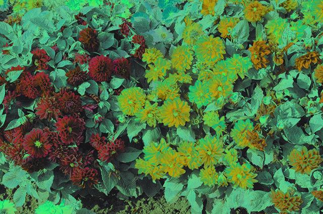 Выращивание георгины из семян