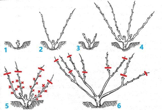 Обрезка винограда осенью для начинающих в картинках: схемы, правила, видео