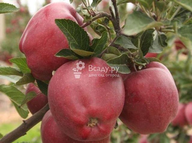 Сорт яблони Старкримсон: фото и описание сорта, отзывы