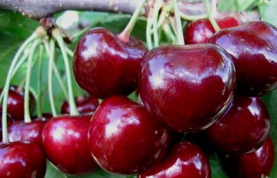Черешня Теремошка: описание сорта, морозостойкость, опылители, фото, отзывы