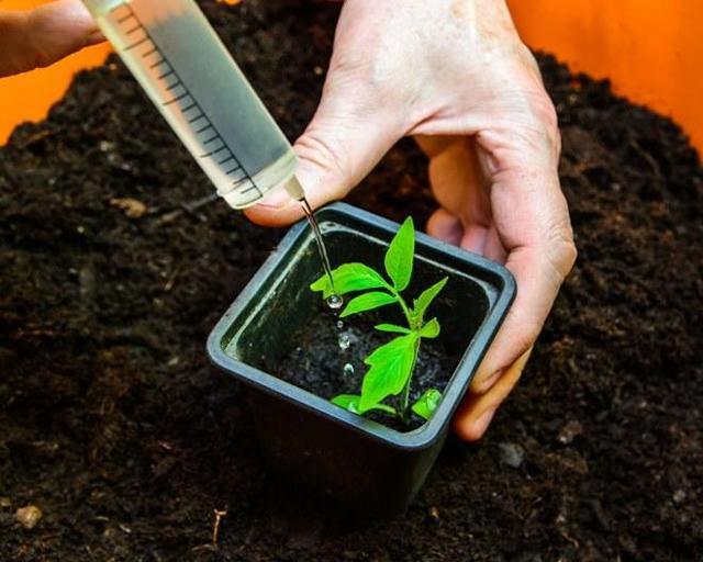 Как правильно подкормить помидоры для роста