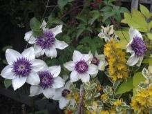 Не цветет клематис: причины, что делать