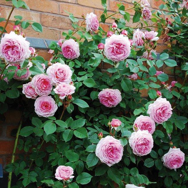 Розы плетистые в ландшафтном дизайне + фото