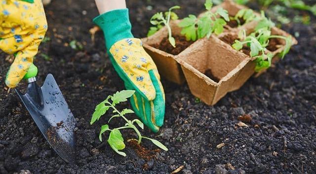 Томат Ниагара: описание сорта, фото, отзывы, урожайность