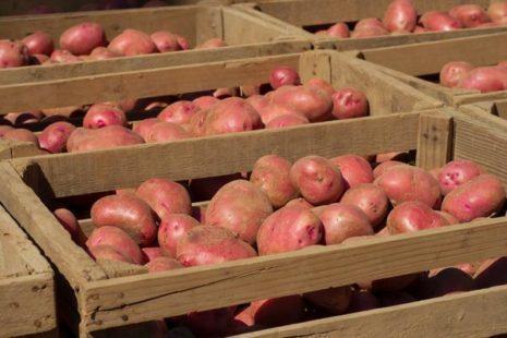 Картофель Дева: описание сорта, фото, отзывы, выращивание