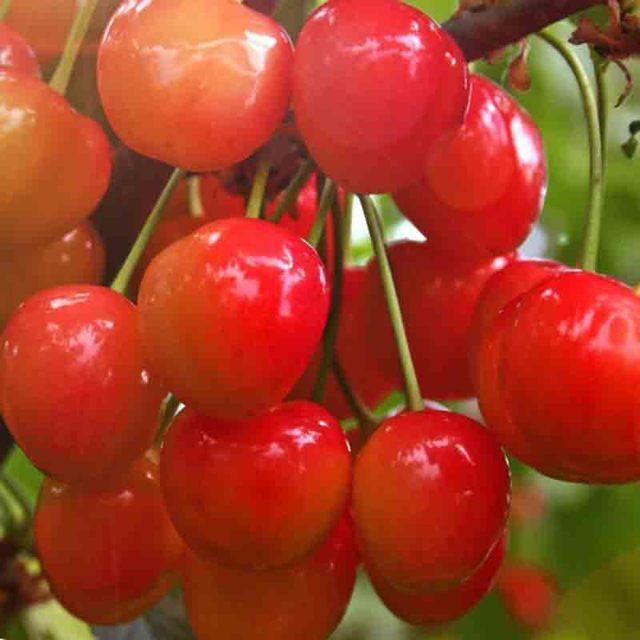 Черешня Речица: описание сорта, морозостойкость, опылители, фото, отзывы