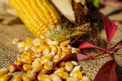 Кукуруза на зерно: уборка, технология выращивания, норма высева, хранение