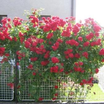 Роза Симпатия плетистая + отзывы