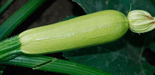 Кабачок Искандер f1: описание сорта, фото, отзывы