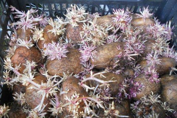Проращивание картофеля перед посадкой: сроки, видео