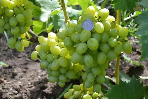 Виноград Надежда Аксайская: описание сорта, фото, отзывы