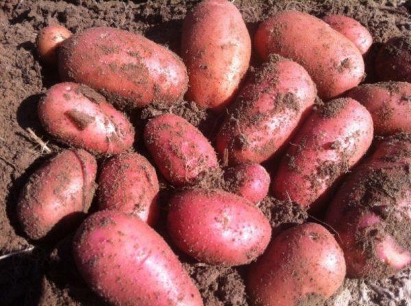 Картофель Рябинушка: характеристика сорта, отзывы, фото