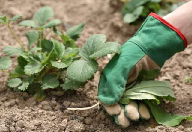 Клубника Эльвира: описание сорта с фото, отзывы садоводов