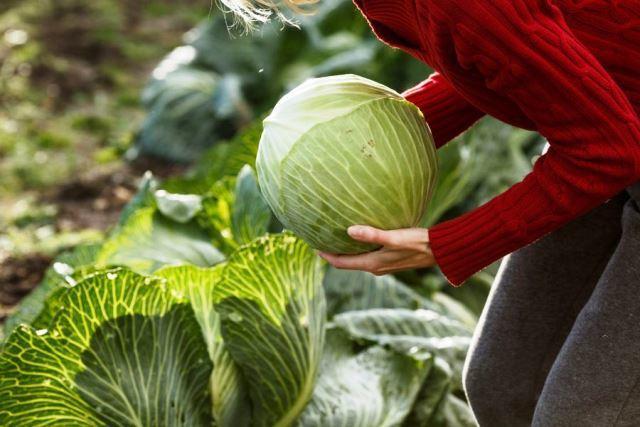 Когда убирать капусту с огорода: сроки уборки с грядки осенью
