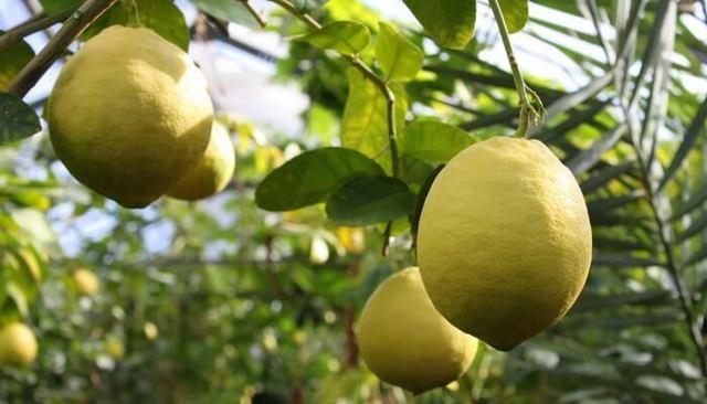Сорта лимонов с фото и описанием для домашнего выращивания