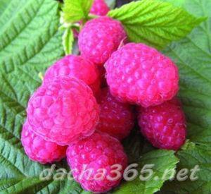 Ремонтантные сорта малины для юга России: обзор, особенности выращивания