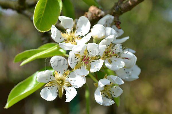 Груша Сапфира колоновидная: характеристика и описание сорта, посадка и уход, выращивание