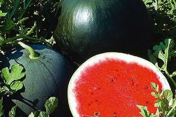 Арбузы в Сибири: выращивание в грунте, когда сеять и как садить
