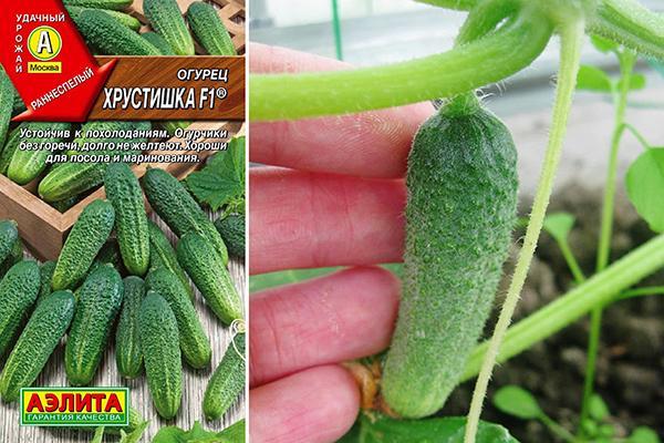Огурец Хрустишка: отзывы, описание сорта, выращивание, фото
