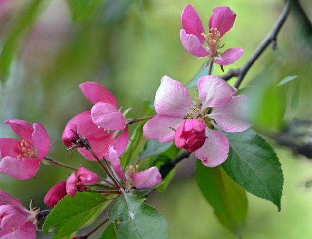 Яблоня Мельба: описание сорта, фото, отзывы, посадка и уход, высота дерева