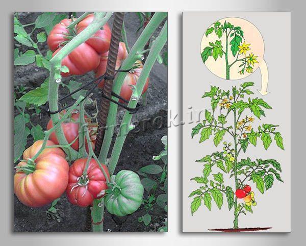 Томат Медовый: отзывы, фото, урожайность