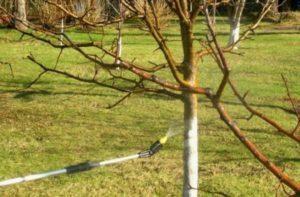 Яблоня Коваленковское: описание, фото, отзывы садоводов, посадка, обрезка