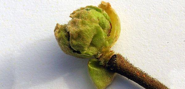 Смородина Зеленая дымка: описание сорта, фото, отзывы