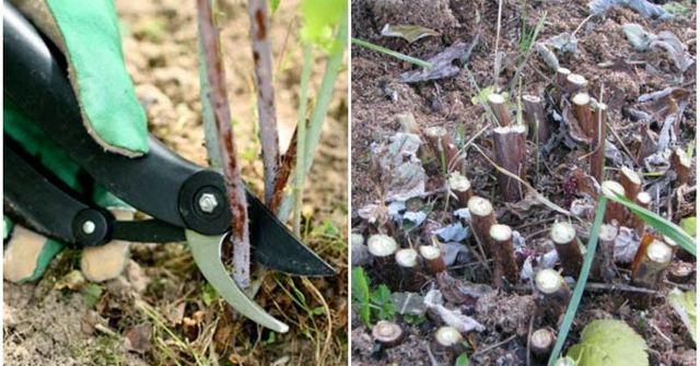 Обрезка ремонтантной малины весной для начинающих