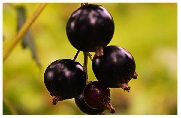 Черная смородина Багира: описание сорта, фото, отзывы