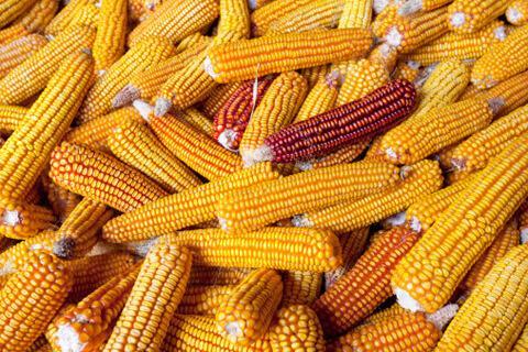 Декоративная кукуруза: посадка и уход, особенности выращивания, фото