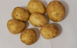 Описание сорта картофеля Ильинский