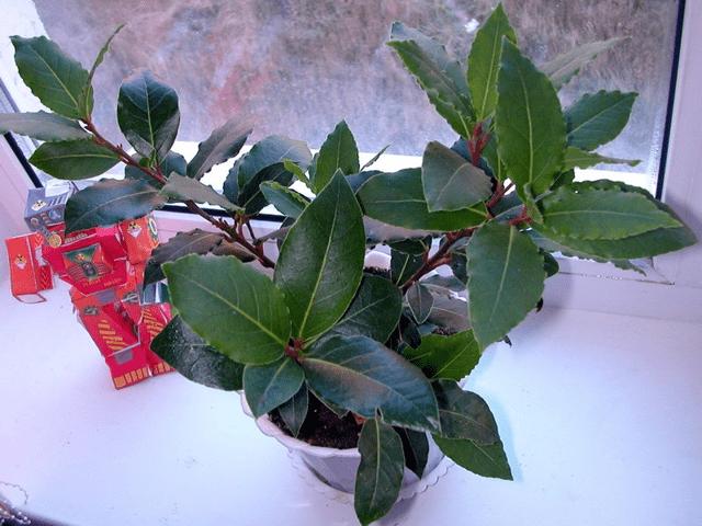 Груша Новогодняя: описание сорта, фото, отзывы, выращивание