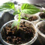 Перекись водорода для рассады: как развести и подкормить