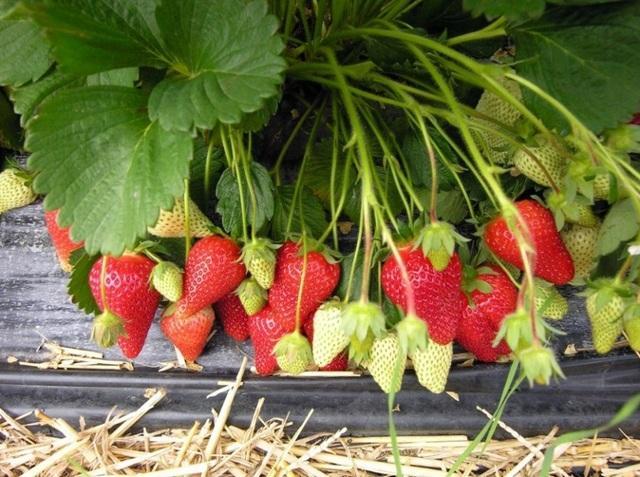 Клубника Роксана: описание сорта, фото, отзывы садоводов