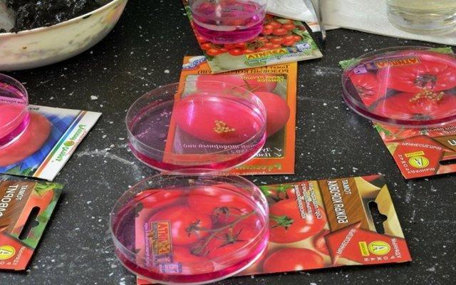 Правильная подготовка семян помидор к посадке на рассаду