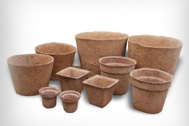 Диморфотека - выращивание из семян в домашних условиях