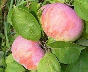 Яблоня Орловим: описание сорта, посадка, опылители, отзывы садоводов