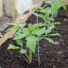 Эффективные удобрения при посадке помидор