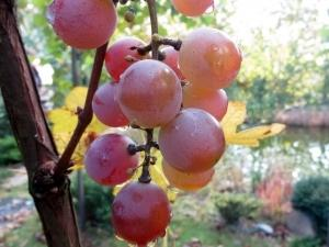 Виноград Лидия: описание сорта, фото, отзывы, видео ягоды.
