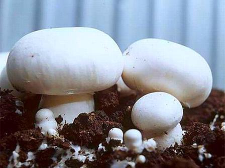 Выращивание шампиньонов в домашних условиях: для новичков, пошагово, в квартире