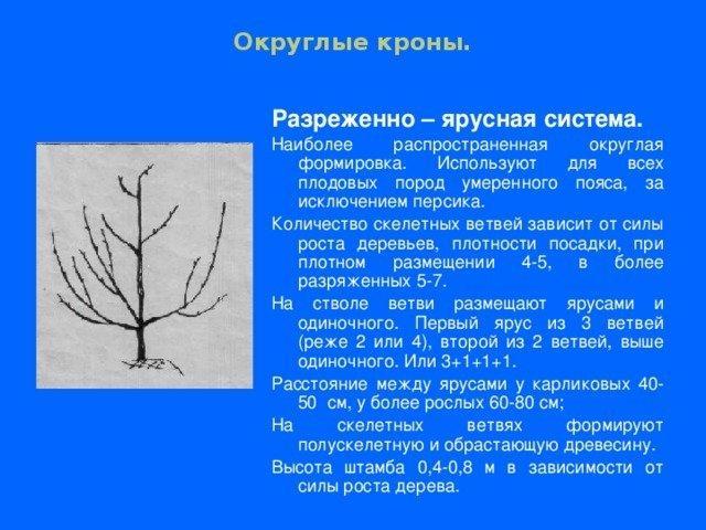 Черешня Кордия: описание сорта, опылители, фото, отзывы
