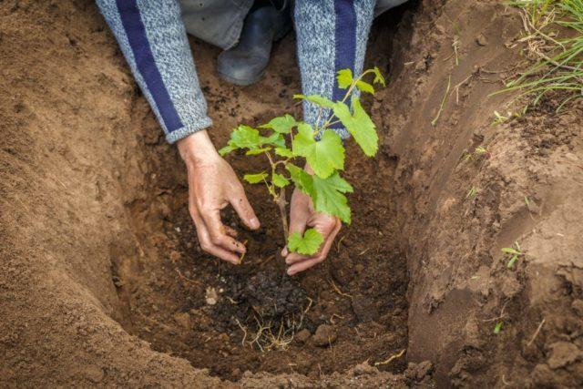 Как пересадить виноград на другое место осенью