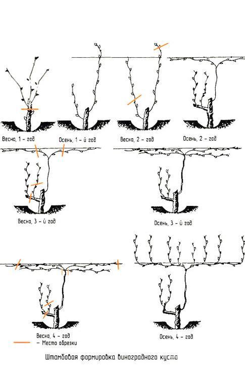 Обрезка винограда весной: пошаговое описание, видео, схема