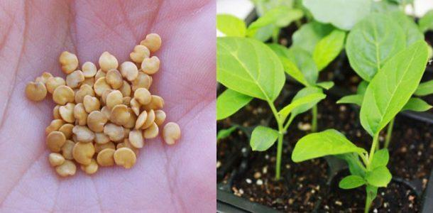 Секрет подготовки семян баклажан к посеву