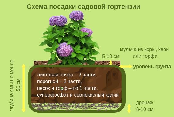 Посадка и уход за гортензией в Сибири