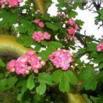 Боярышник Арнольда (crataegus Аrnoldiana): описание, посадка и уход, отзывы