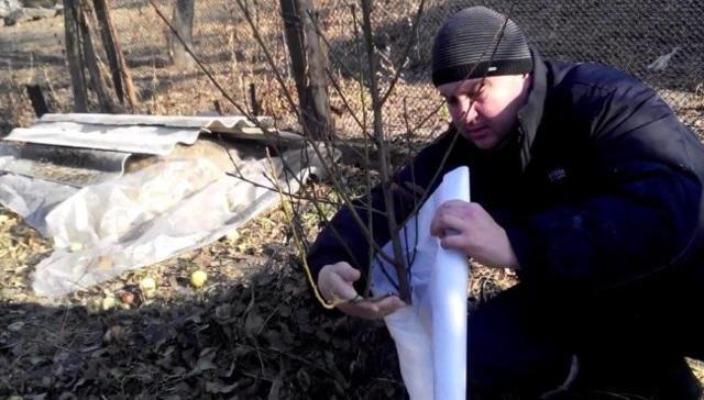 Черешня для Ленинградской области: самоплодные сорта, для северо-западного региона, описание, отзывы