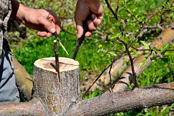 Как привить яблоню весной пошагово: сроки, видео, схемы, способы