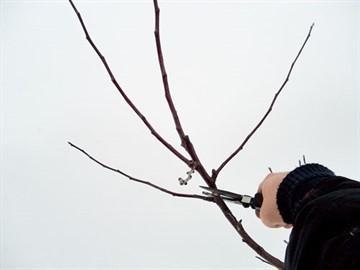 Обрезка яблонь осенью для новичков: сроки, схема, видео для начинающих, в картинках